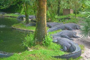 Alligators at Morocco Region