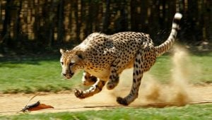 Cheetahs at Edge of Africa region