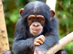 Chimpanzees at Morocco Region