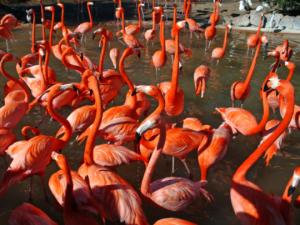 Flamingos at Bird Gardens Region at Busch Gardens Tampa Bay