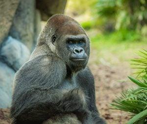Gorillas at Morocco Region