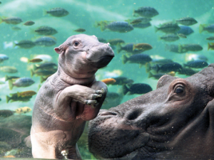 Hippos at Edge of Africa