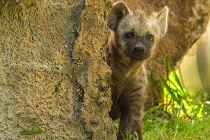 Hyenas at Edge of Africa