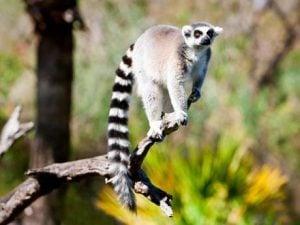 lemurs at Edge of Africa