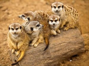 Meerkats at Edge of Africa