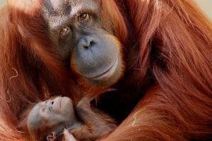 Orangutans at Jungala Region