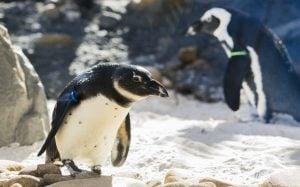 Penguins at Nairobi Region