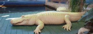 Rare White Leucistic Alligator