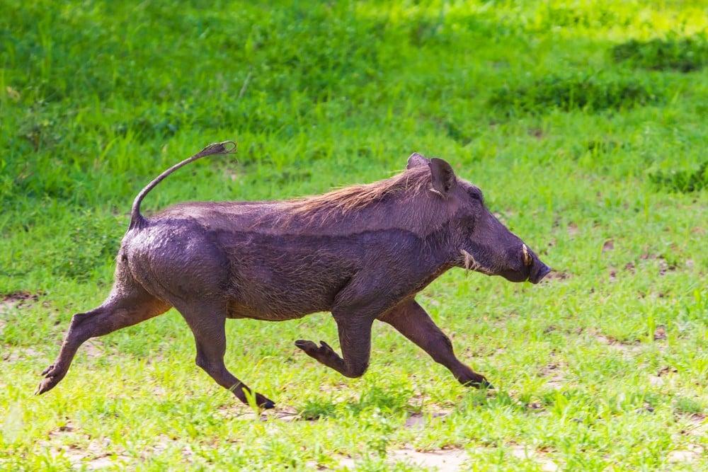 Guide to Florida Wildlife - Warthogs