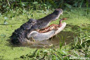 Guide to Florida Wildlife - Alligators